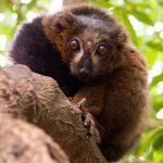 A lemur in Valencia's Bioparc.