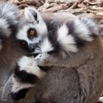 A ring-tailed lemur all curled up against the cool weather.