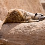 A meerkat enjoying a snooze in the sun.