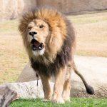 A lion in Valencia's Bioparc.