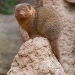 A surprised looking mongoose in Valencia's Bioparc.