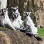 Ring-tailed lemurs enjoying the sun.