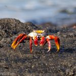 A picture of a brightly coloured crab from the Galapagos.