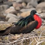 A picture of a male frigate bird sitting on a nest.
