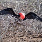 A picture of a male frigate bird trying to attract a female to his nest.