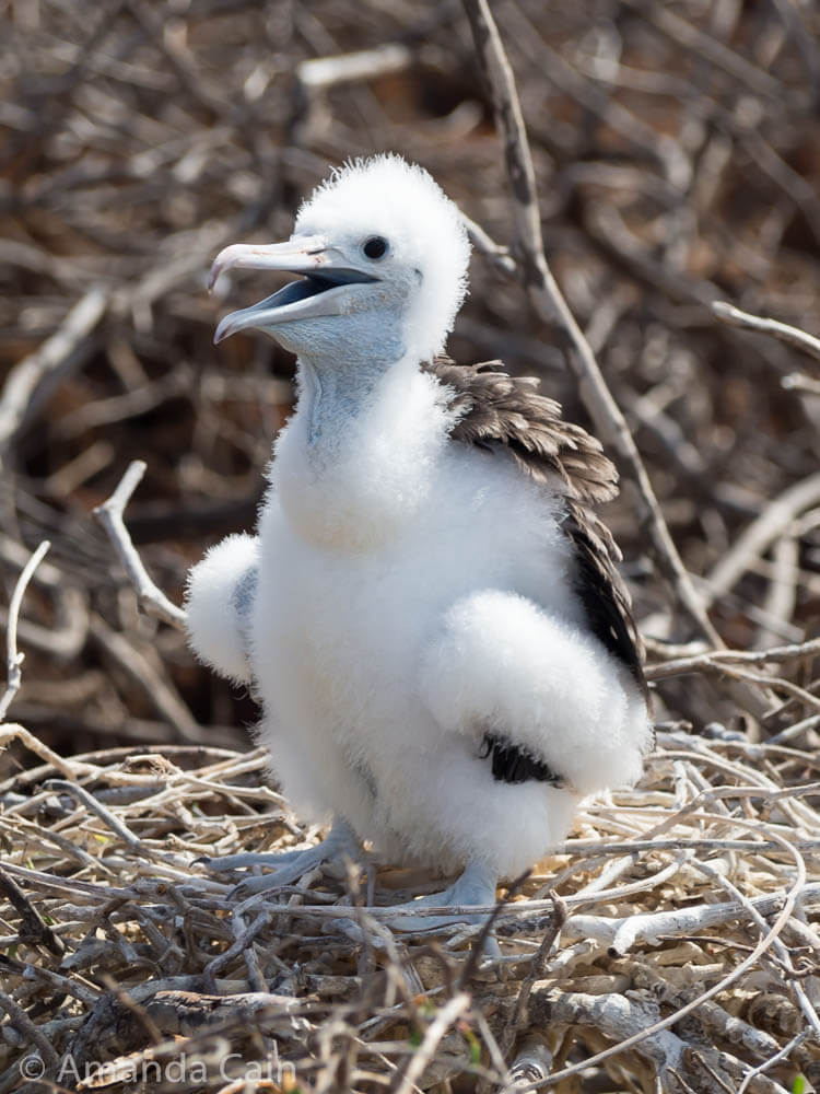 A picture of a baby frigate bird.
