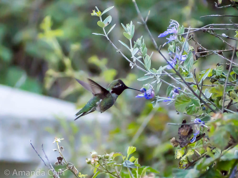 A picture of a hummingbird feeding from a flower while in flight.