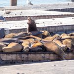 A picture of many sea lions sleeping on a pontoon with one standing up and calling out.