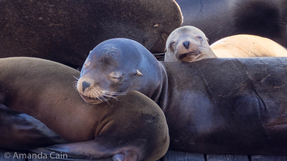 A mother and baby sea lion asleep on top of each other.