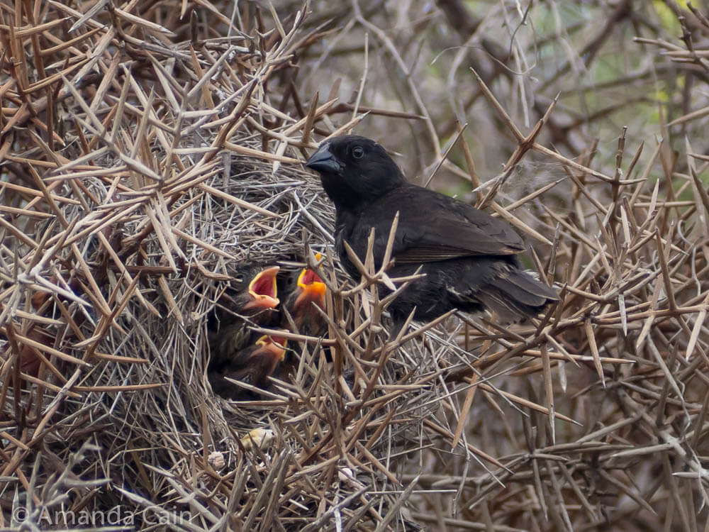 A picture of a finch bringing food to a nest of babies.