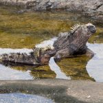 A picture of a couple of marine iguanas enjoying lazing around in a pool of water.