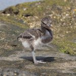 A picture of a very young and fluffy baby oyster catcher.