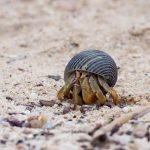 A picture of a teeny tiny hermit crab watching for danger.
