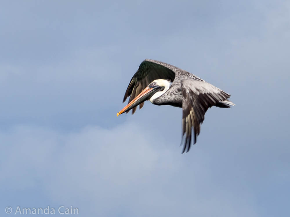 A picture of a Galapagos pelican in flight.
