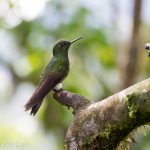 A hummingbird in Bella Vista Cloud Forest.