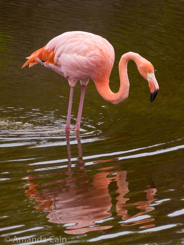 A flamingo standing in water with a reflection.