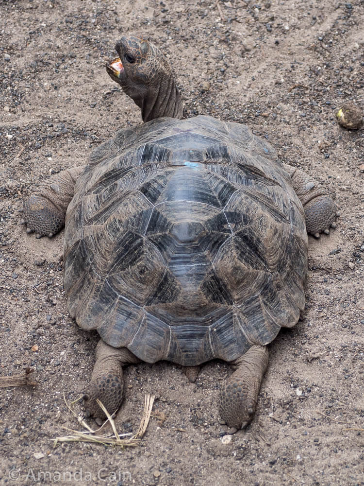 A young giant tortoise lying on the ground.