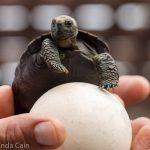 A baby tortoise at the breeding centre with an egg shell.