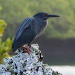 A black lava heron keeping a lookout.