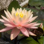 A water lily in Padua's botanic gardens.