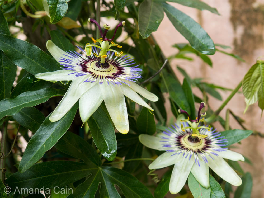 Passion flowers in Padua's botanic gardens.