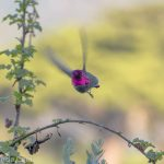 When the light catches the right angle, this hummingbird's face is bright magenta. Otherwise it's black.