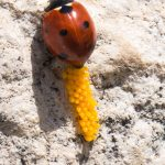 A ladybug laying eggs on a stone in an Ancient Roman amphitheatre.