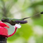 """A booted racket-tail hummingbird. They got this name because of the fluffy white """"boots"""" on their feet and the racket-shaped feathers of their tails."""