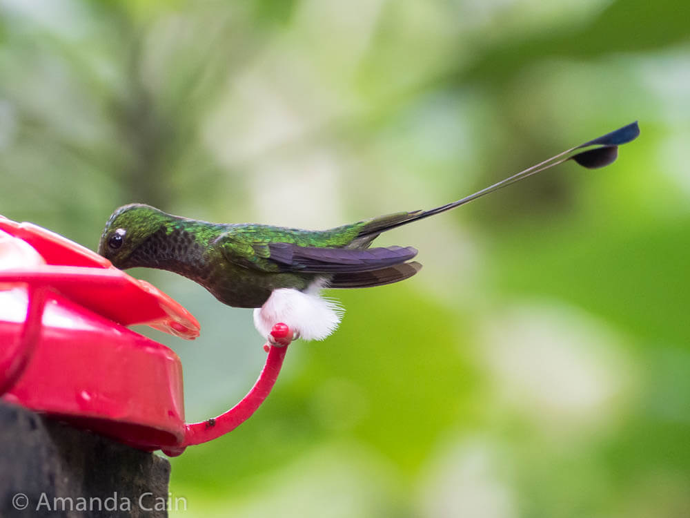 "A booted racket-tail hummingbird. They got this name because of the fluffy white ""boots"" on their feet and the racket-shaped feathers of their tails."