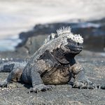 A black marine iguana basking in the sun.