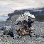 A black marine iguana basking in the sun.