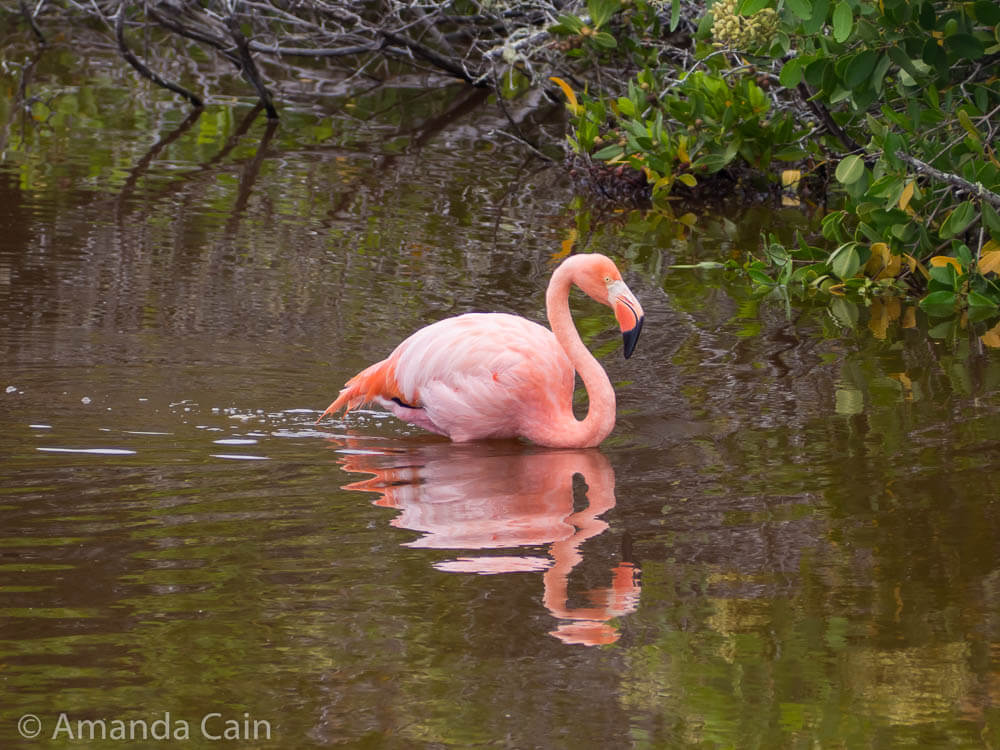 A Galapagos flamingo searching for food.
