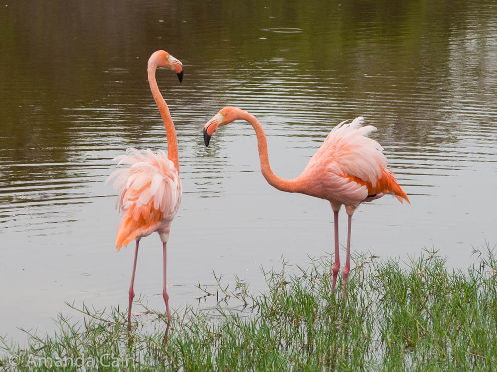 A pair of pink Galapagos flamingos.