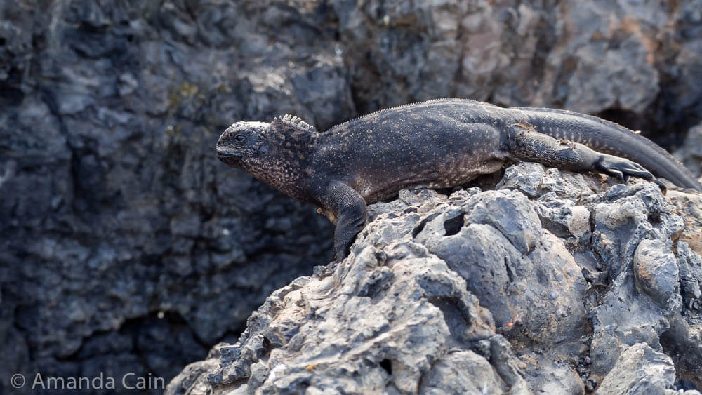 A young black marine iguana camouflaged against the lava.