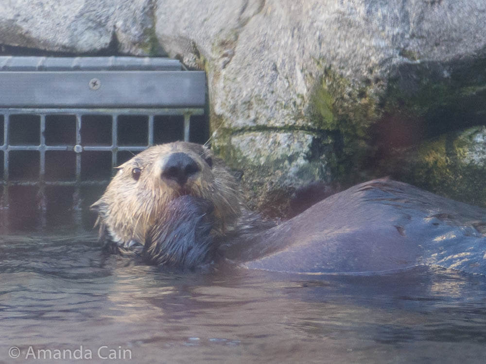 The sea otters at Monterey Bay Aquarium are absolutely adorable.