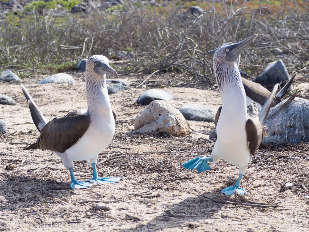 Blue footed boobies performing a mating dance. The dance includes wing displays, marching on the spot to show off their blue feet and offering twigs to each other.