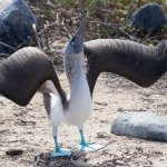 A blue footed booby performing a mating dance. The dance includes wing displays, marching on the spot to show off their blue feet and offering twigs to each other.