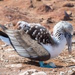 A blue footed booby protecting its egg.