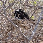 A male frigate bird looking after his chick.