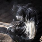 A mother colobus monkey checks her baby for lice (he doesn't seem very happy about it).