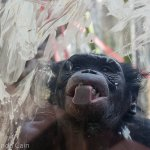 As part of World Bonobo Day the zookeepers put peanut butter on the windows of the bonobo enclosure. It's clearly a favourite treat for them.