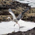 A great blue heron taking flight.