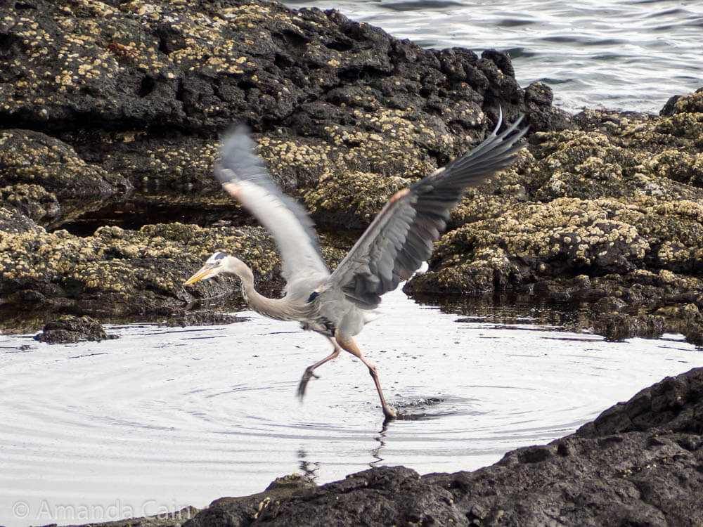 A great blue heron taking flight.