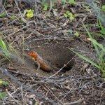 A lava lizard keeping watch from its burrow.