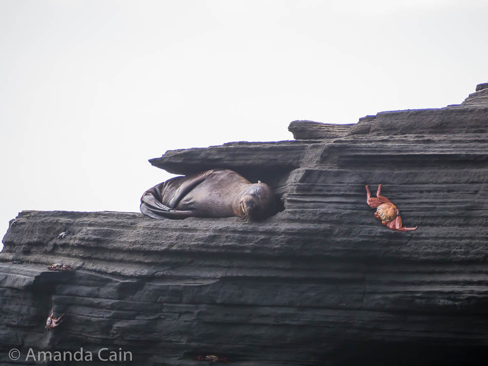 A baby sea lion curled up asleep on the side of a cliff.