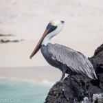 A pelican watches the sea in the Galapagos Islands.