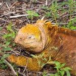A very large, bright yellow male iguana.