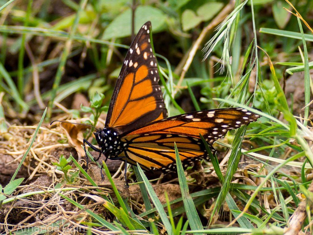 Close up of a monarch butterfly.