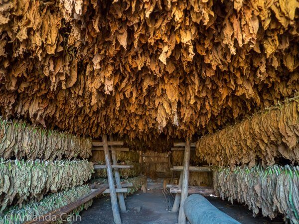Inside a tobacco drying house. Drying & fermenting leaves hang from every available rack.