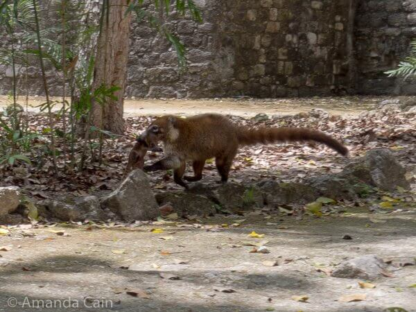 A mother coati carrying her baby in her mouth. The baby was probably about a week old, and too small to walk.